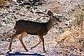 Mule Deer Trotting.jpg