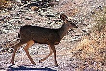 Was and same sex mule deer behavior opinion you