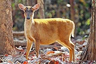 Muntjac A genus of mammals belonging to the deer, muntjac, roe deer, reindeer, and moose family of ruminants