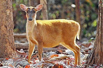 Muntiacini - Indian muntjac
