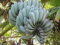 Musa Acuminata Balbisiana(25204635515).jpg