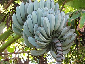 Rhino Horn bananas - Image: Musa Acuminata Balbisiana(252046355 15)