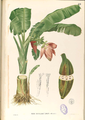 Musa troglodytarum Blanco1.89-original.png