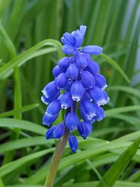 Muscari neglectum - 20150407.jpg