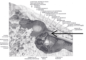 """Tensor tympani muscle - The medial wall and part of the posterior and anterior walls of the right tympanic cavity, lateral view. (Label for """"Tensor tympani muscle"""" is at right, second from bottom.)"""