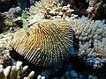 Mushroom coral (6163170097).jpg