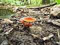 Mushrooms! Mill Trail Umstead NC SP 4239 (6641387877) (2).jpg
