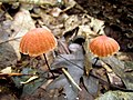 Mushrooms! Mill Trail Umstead NC SP 4244 (6641372193) (2).jpg