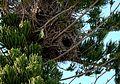 Myiopsitta monachus -nests-8c.jpg