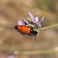 Mylabris quadripunctata-Mylabre à quatre points-20150609.jpg