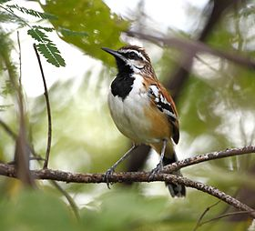 Mymorchilus strigilatus - Stripe-backed antbird.JPG