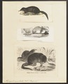 Myogale moschata - 1700-1880 - Print - Iconographia Zoologica - Special Collections University of Amsterdam - UBA01 IZ20900149.tif