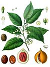 Myristica fragrans - Köhler–s Medizinal-Pflanzen-097.jpg