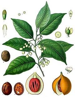 <i>Myristica fragrans</i> species of plant