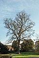 NDOÖ 029 Wilhering Tulpenbaum Dezember 2013.jpg