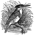 NSRW Spotted Kingfisher.png
