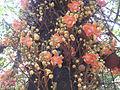 Naagalinka Maram, Canon Ball Tree, നാഗലിംഗ മരം.JPG