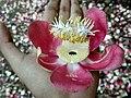 Nagkeshar Flower.jpg