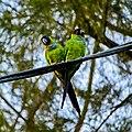 Nandayus nenday -Pinellas County, Florida, USA-8a.jpg