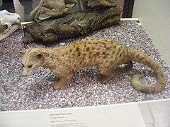 Nandinia binotata, Manchester Museum