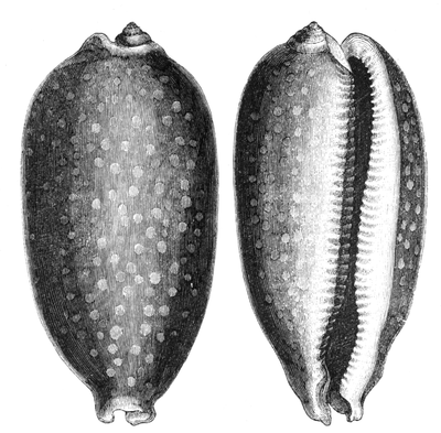 Natural History - Mollusca - Cowry full-grown.png