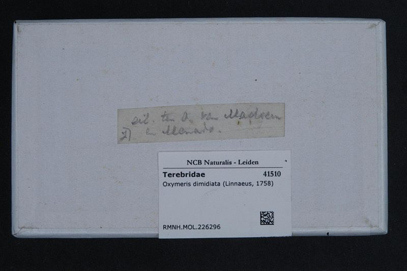 File:Naturalis Biodiversity Center - RMNH.MOL.226296 1 - Oxymeris dimidiata (Linnaeus, 1758) - Terebridae - Mollusc shell.jpeg