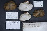 Naturalis Biodiversity Center - RMNH.MOL.327100 - Epioblasma arcaeformis (Lea, 1831) - Unionidae - Mollusc shell.jpeg