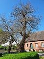 Naturdenkmale Maulbeerbaum 1 und 2 Caminchen (1).jpg