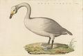 Nederlandsche vogelen (KB) - Cygnus cygnus (490b).jpg
