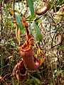 Nepenthes mollis on the upper slopes of Mt Kemul, Indonesia — AlastairRobinson.jpg
