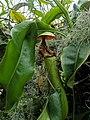 Nepenthes truncata IMG 20190502 122444.jpg