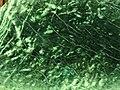 Nephrite jade (Pounamu Ultramafics, Pounamu Ultramafic Belt, South Island, New Zealand) 2 (24602406131).jpg