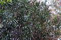 Nerium oleander 2 2014-03-26.jpg