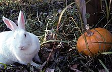 New Zealand Rabbit Wikipedia