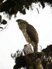New Guinea Eagle.jpg