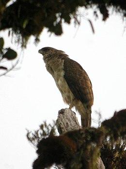 New Guinea Eagle