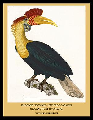 Nicolas Huet the Younger - Rhyticeros cassidix (knobbed hornbill)