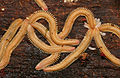 Noodle Millipedes (Pseudodesmus sp.) (and baby noodles ...) feeding on some mold (23077740810).jpg