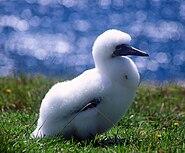 Norfolk Island Gannet chick