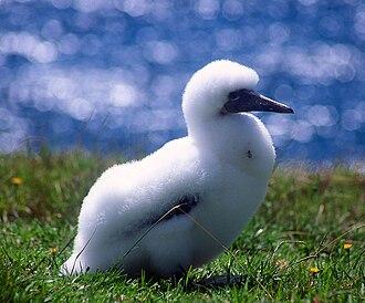 Norfolk Island - Image: Norfolk Island Gannet chick