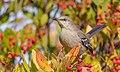 Northern Mockingbird - Flickr - Becky Matsubara.jpg