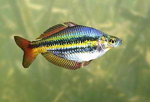 A 3D Model of a Northern Rainbowfish (Melanota...