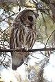 Northern Saw-whet Owl (31782258042).jpg