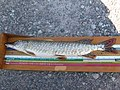 Northern pike (Hilton Beach) 1.JPG