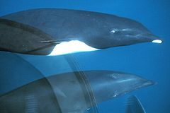 Northern right whale dolphin.jpg