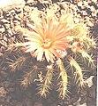 Notocactus horstii 2.jpg