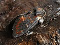 Notodonta dromedarius - Iron prominent - Хохлатка ольховая (41095010932).jpg