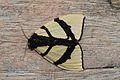 Numenes insignis (Lymantriidae- Orgyinae) (5641842076).jpg