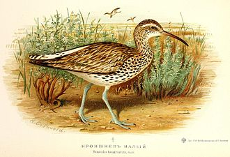 Slender-billed curlew - Illustration by Henrik Grönvold