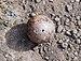 Oak apple (01839).jpg